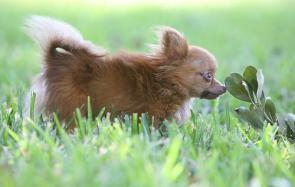 World's Smallest Dog